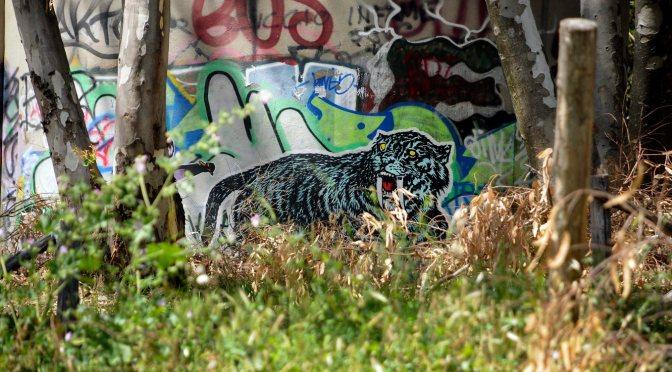 Tigre dai denti a  sciabola, Monte Mario, 2012